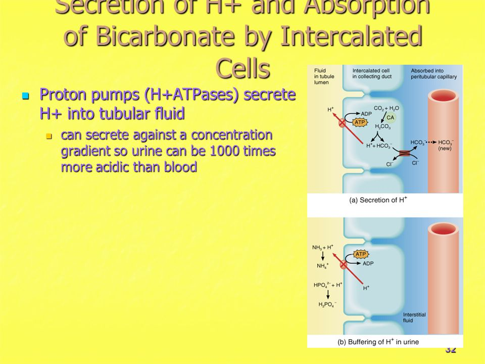 32 Secretion of H+ and Absorption of Bicarbonate by Intercalated Cells Proton pumps (H+ATPases) secrete H+ into tubular fluid Proton pumps (H+ATPases) secrete H+ into tubular fluid can secrete against a concentration gradient so urine can be 1000 times more acidic than blood can secrete against a concentration gradient so urine can be 1000 times more acidic than blood