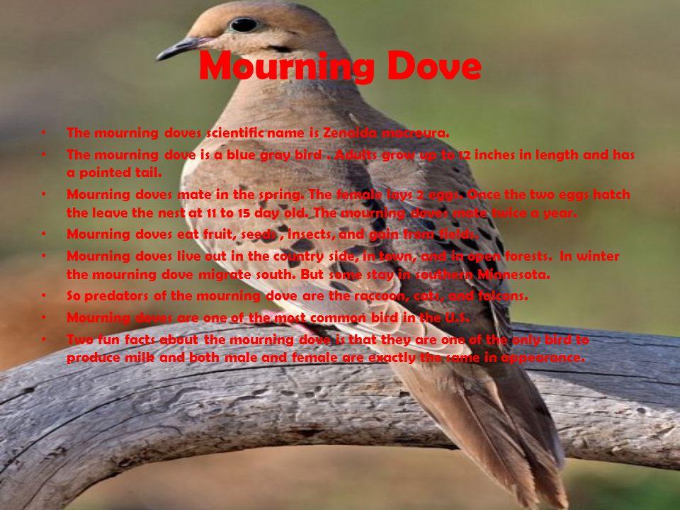 Mourning Dove The mourning doves scientific name is Zenaida macroura.