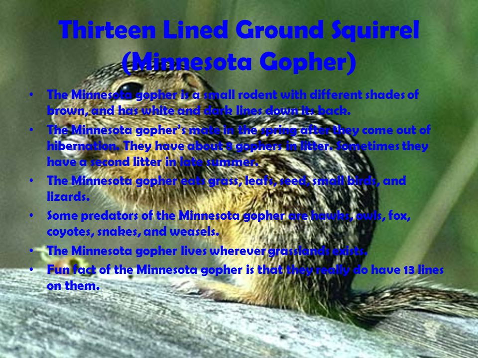 Thirteen Lined Ground Squirrel (Minnesota Gopher) The Minnesota gopher is a small rodent with different shades of brown, and has white and dark lines down its back.