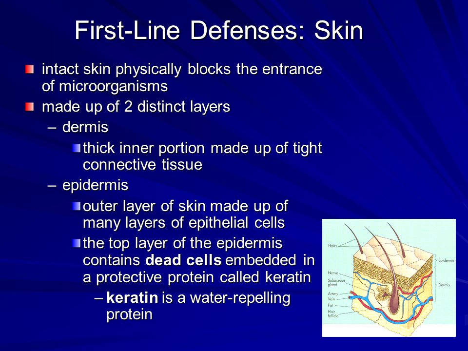 First-Line Defenses: Skin intact skin physically blocks the entrance of microorganisms made up of 2 distinct layers –dermis thick inner portion made u