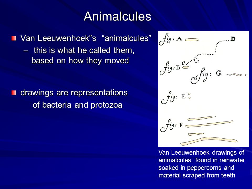 """Animalcules Van Leeuwenhoek""""s """"animalcules"""" – this is what he called them, based on how they moved drawings are representations of bacteria and protoz"""