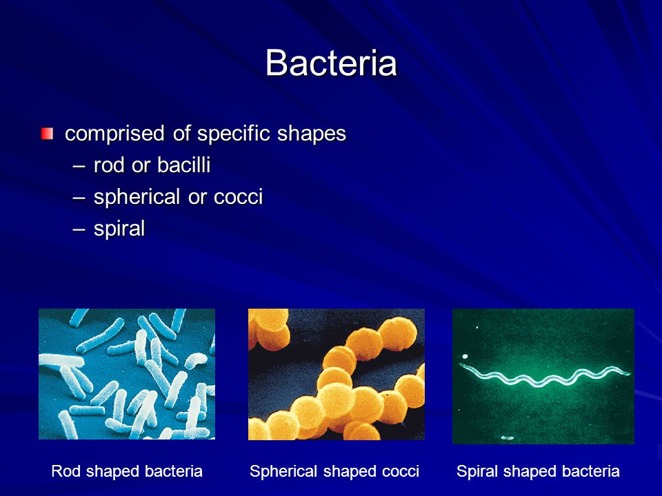 Bacteria comprised of specific shapes –rod or bacilli –spherical or cocci –spiral Rod shaped bacteria Spherical shaped cocci Spiral shaped bacteria