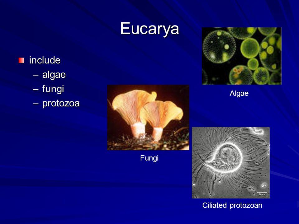 Eucarya include –algae –fungi –protozoa Ciliated protozoan Fungi Algae