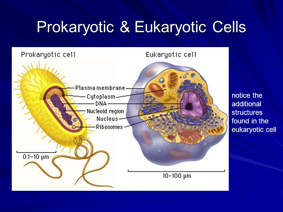 Prokaryotic & Eukaryotic Cells notice the additional structures found in the eukaryotic cell