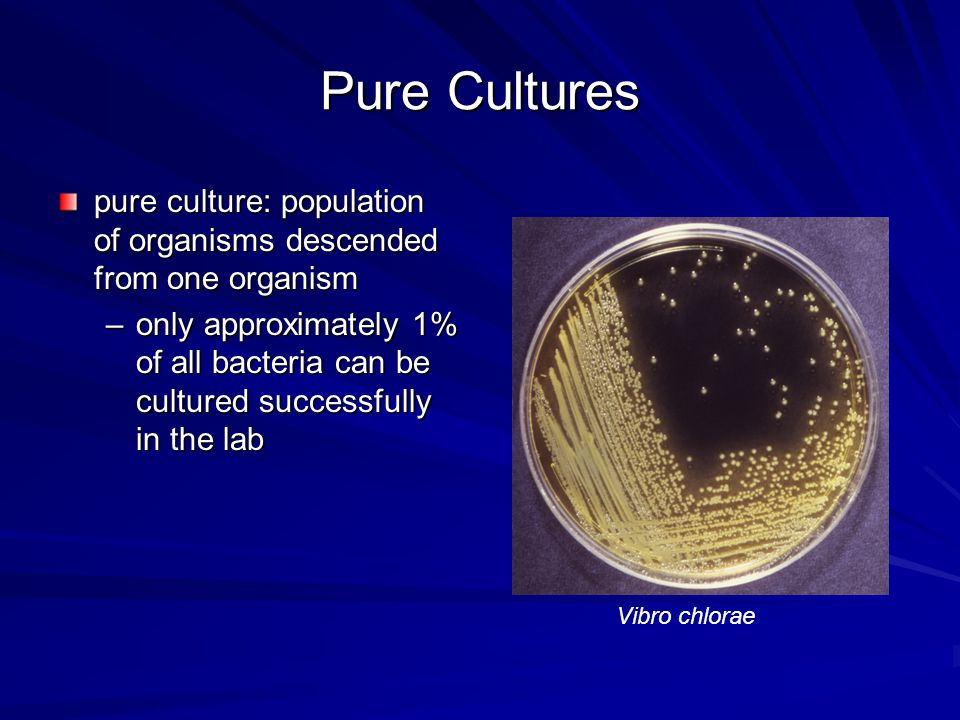 Pure Culture colony, clone –begins with a single bacterial cell placed on a solid medium such as agar agar –provides specific nutrition for bacteria and a medium to grow on Nutritional Agar Colonies on agar