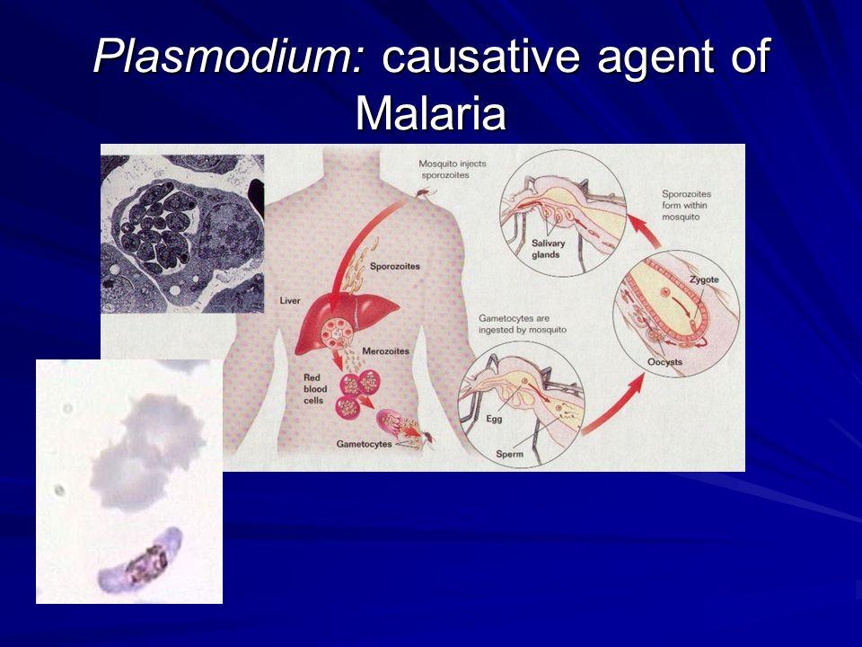 Plasmodium: causative agent of Malaria
