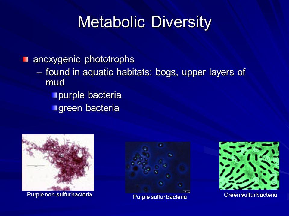 Metabolic Diversity anoxygenic phototrophs –found in aquatic habitats: bogs, upper layers of mud purple bacteria green bacteria Purple non-sulfur bact
