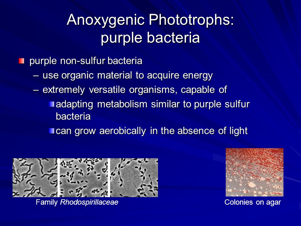 Anoxygenic Phototrophs: purple bacteria purple non-sulfur bacteria –use organic material to acquire energy –extremely versatile organisms, capable of