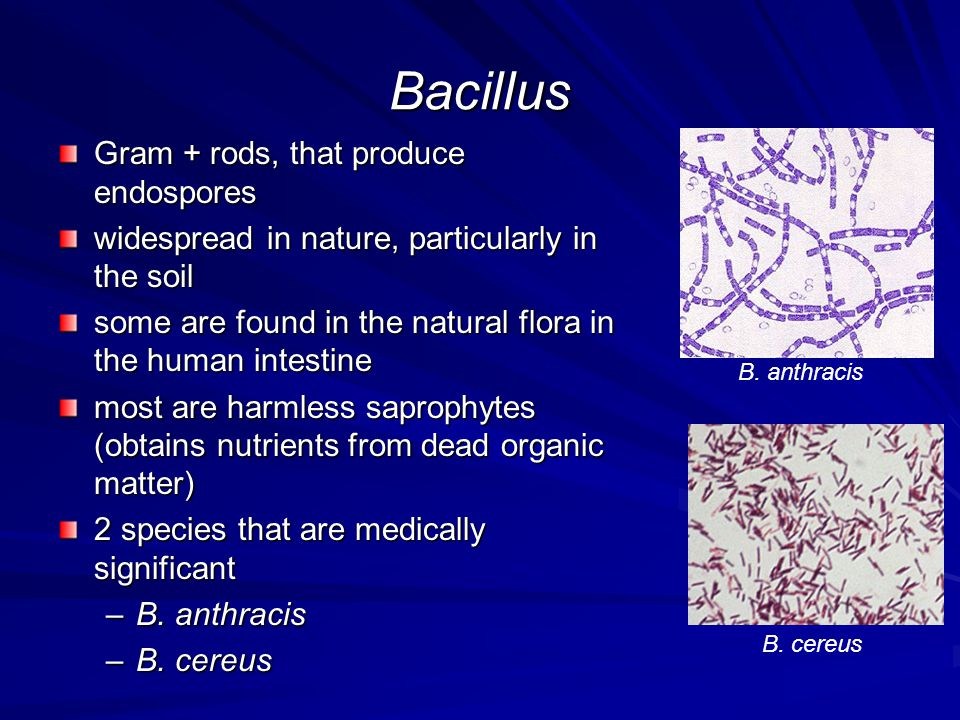 Bacillus Gram + rods, that produce endospores widespread in nature, particularly in the soil some are found in the natural flora in the human intestin