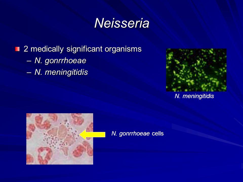 Neisseria 2 medically significant organisms –N. gonrrhoeae –N. meningitidis N. gonrrhoeae cells N. meningitidis