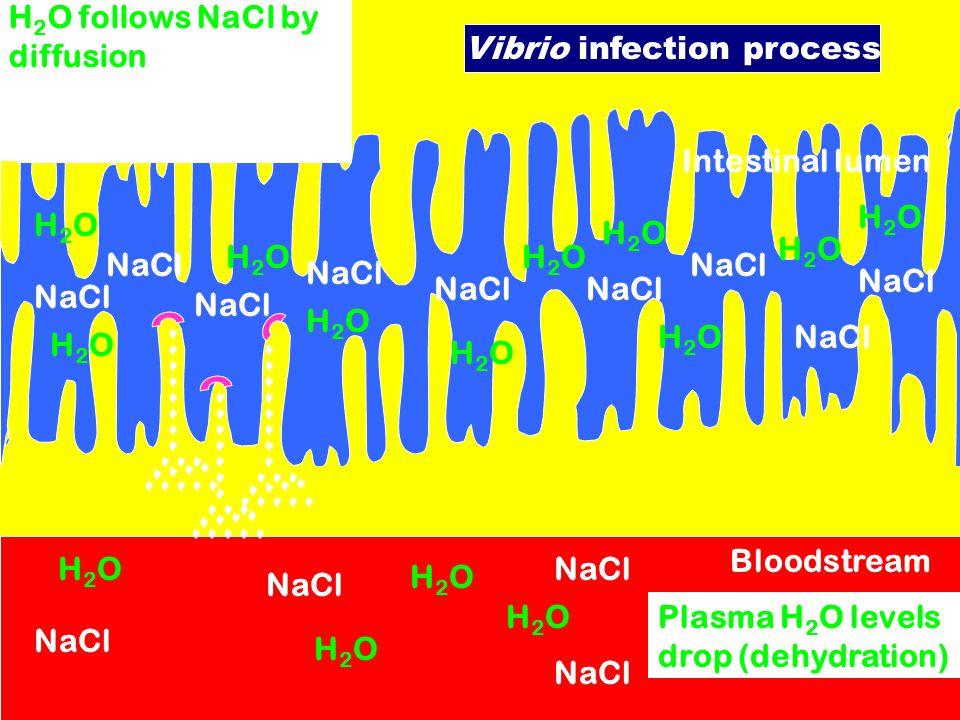 Intestinal lumen NaCl H2OH2O H2OH2O H2OH2O H2OH2O H2OH2O H2OH2O H2OH2O H2OH2O H2OH2O H2OH2O H2OH2O Bloodstream Plasma ion levels drop H2OH2O H2OH2O H2
