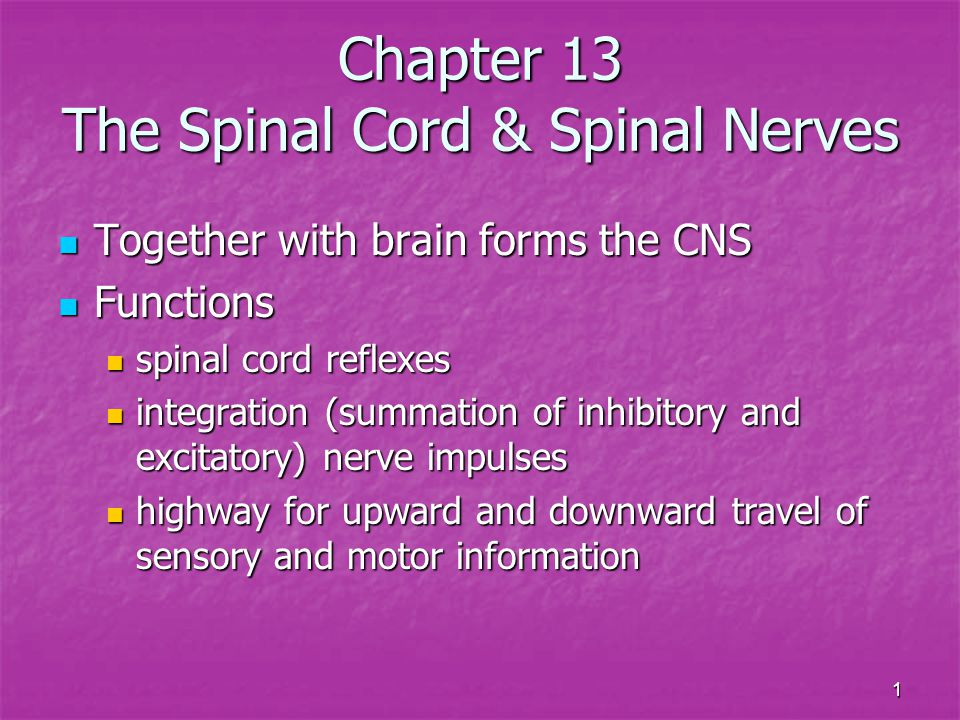 22 Branching of Spinal Nerve Spinal nerves formed from dorsal & ventral roots Spinal nerves formed from dorsal & ventral roots Spinal nerves branch into dorsal & ventral rami Spinal nerves branch into dorsal & ventral rami