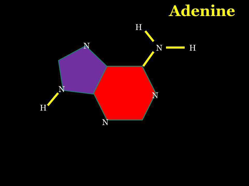 N H N N N Adenine H N H