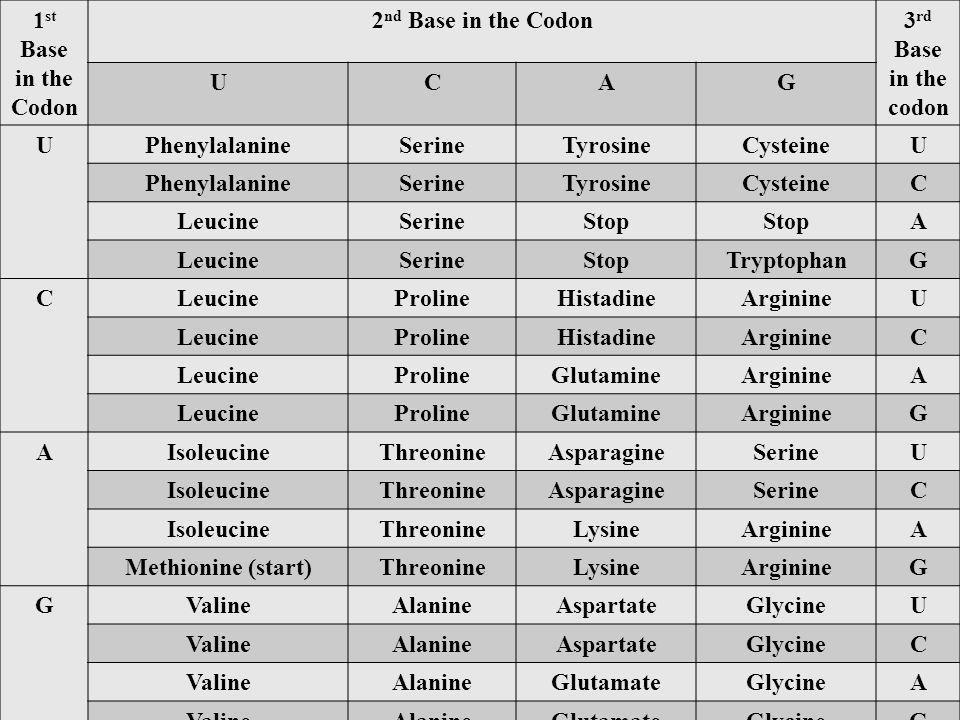 1 st Base in the Codon 2 nd Base in the Codon3 rd Base in the codon UCAG UPhenylalanineSerineTyrosineCysteineU PhenylalanineSerineTyrosineCysteineC LeucineSerineStop A LeucineSerineStopTryptophanG CLeucineProlineHistadineArginineU LeucineProlineHistadineArginineC LeucineProlineGlutamineArginineA LeucineProlineGlutamineArginineG AIsoleucineThreonineAsparagineSerineU IsoleucineThreonineAsparagineSerineC IsoleucineThreonineLysineArginineA Methionine (start)ThreonineLysineArginineG GValineAlanineAspartateGlycineU ValineAlanineAspartateGlycineC ValineAlanineGlutamateGlycineA ValineAlanineGlutamateGlycineG