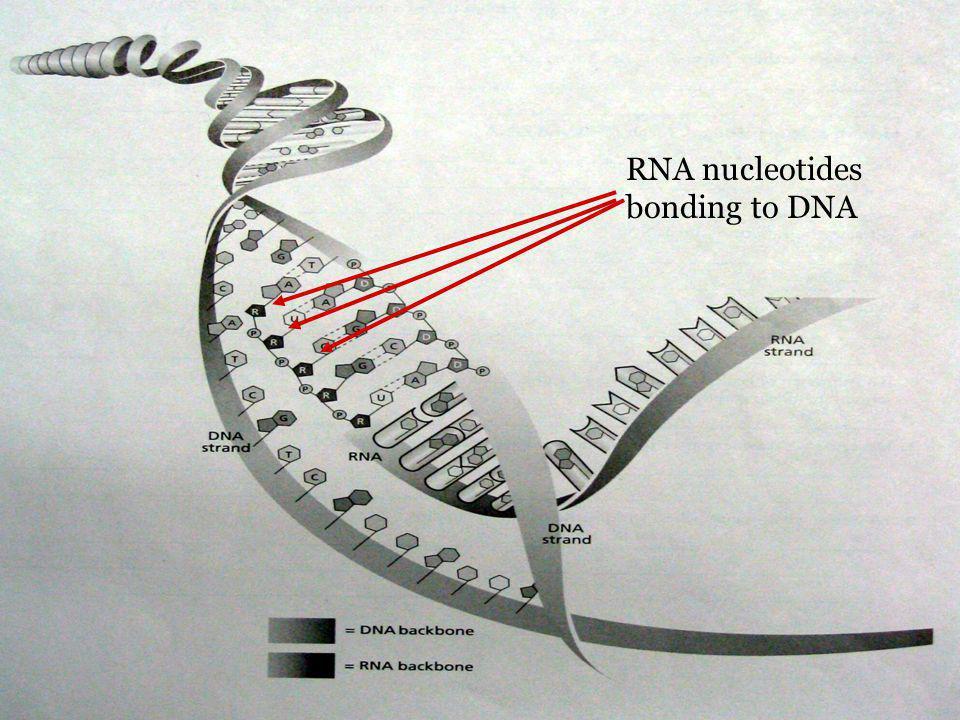RNA nucleotides bonding to DNA