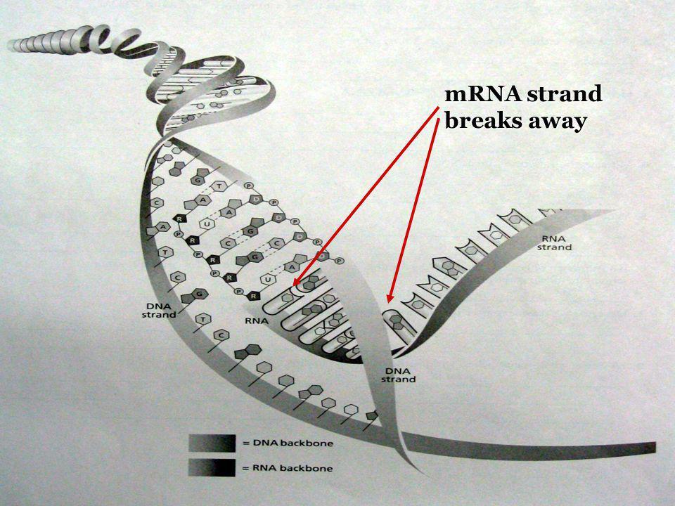 mRNA strand breaks away