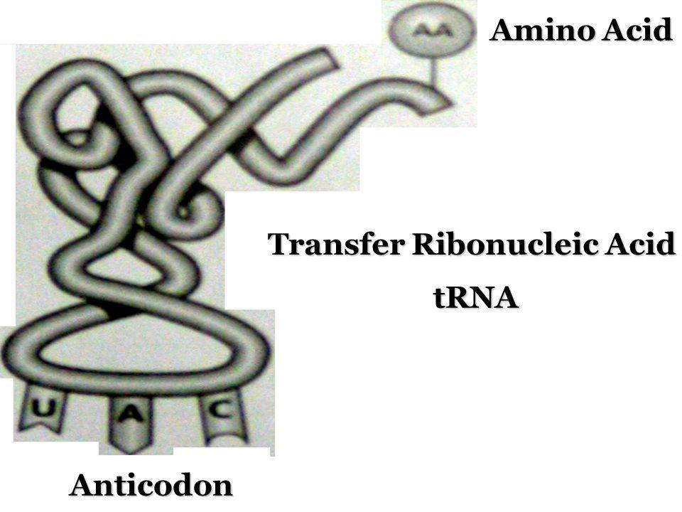 Transfer Ribonucleic Acid tRNA Amino Acid Anticodon