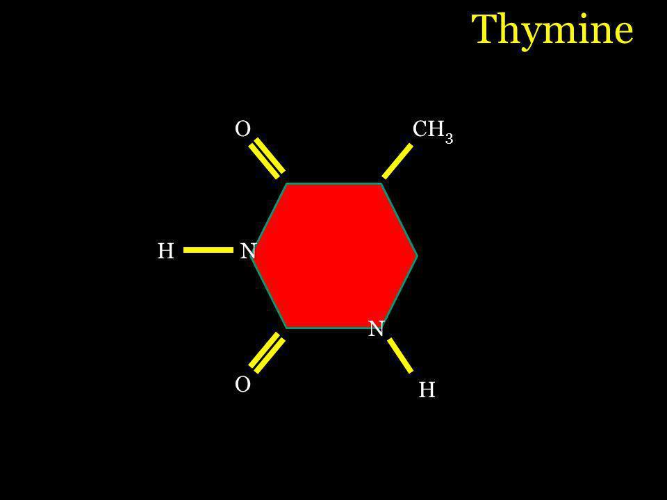 O O CH 3 H H N N Thymine