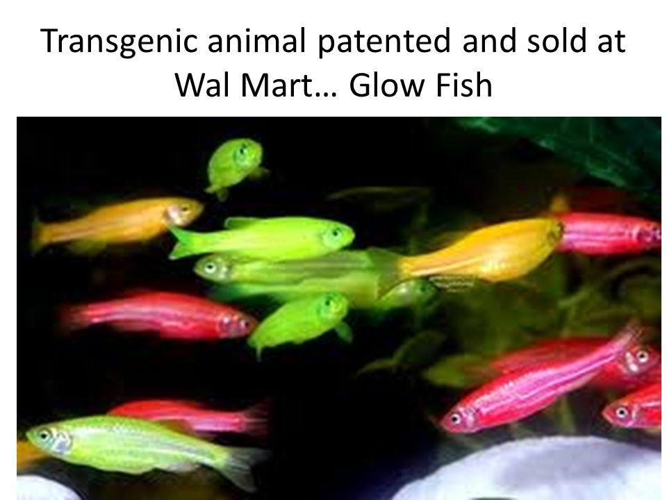 Transgenic animal patented and sold at Wal Mart… Glow Fish