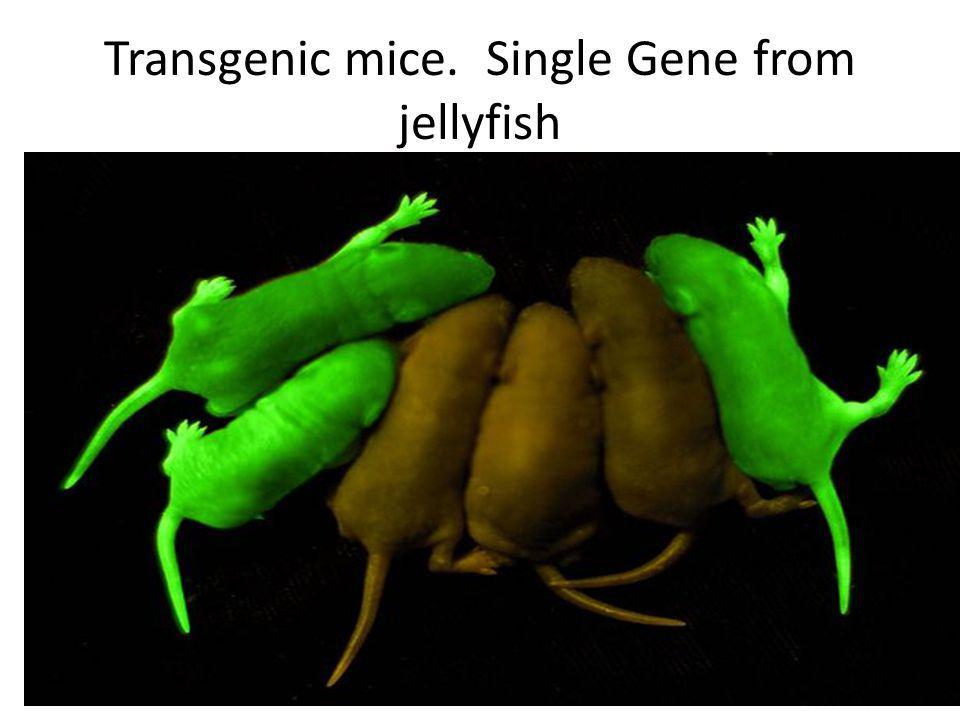 Transgenic mice. Single Gene from jellyfish