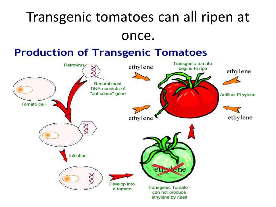 Transgenic tomatoes can all ripen at once.