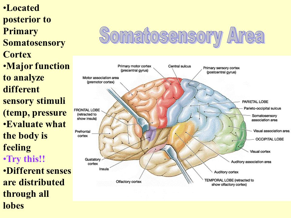 Primary Somatosensory Cortex Spatial Discrimination – ability to identify the body region being stimulated Area is identified by receiving information