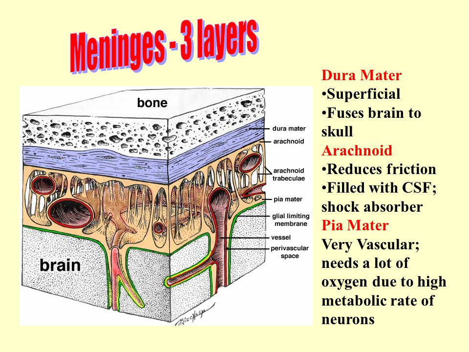 Dura Mater Superficial Fuses brain to skull Arachnoid Reduces friction Filled with CSF; shock absorber Pia Mater Very Vascular; needs a lot of oxygen due to high metabolic rate of neurons