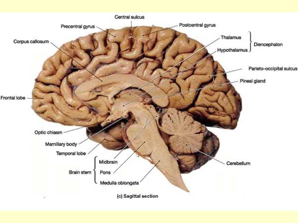 Bridge: Connects cerebellum to brain stem; cerebrum and S.