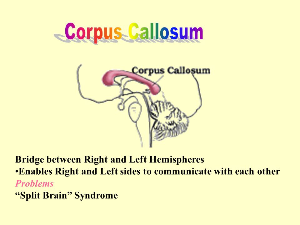 Bridge between Right and Left Hemispheres Enables Right and Left sides to communicate with each other Problems Split Brain Syndrome