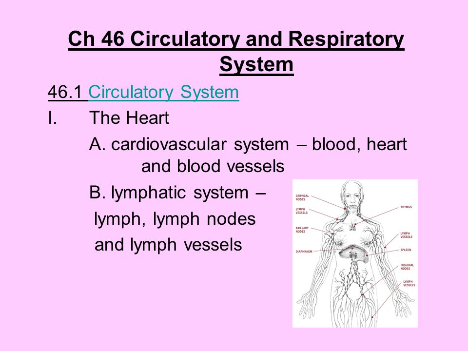 Ch 46 Circulatory and Respiratory System 46.1 Circulatory SystemCirculatory System I.The Heart A.
