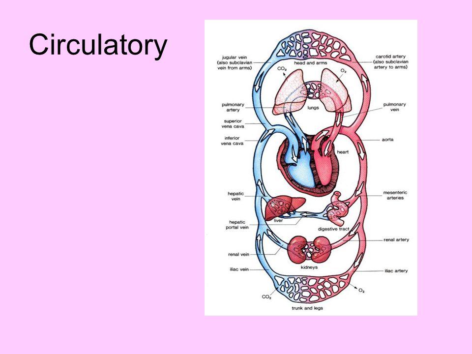 Circulatory
