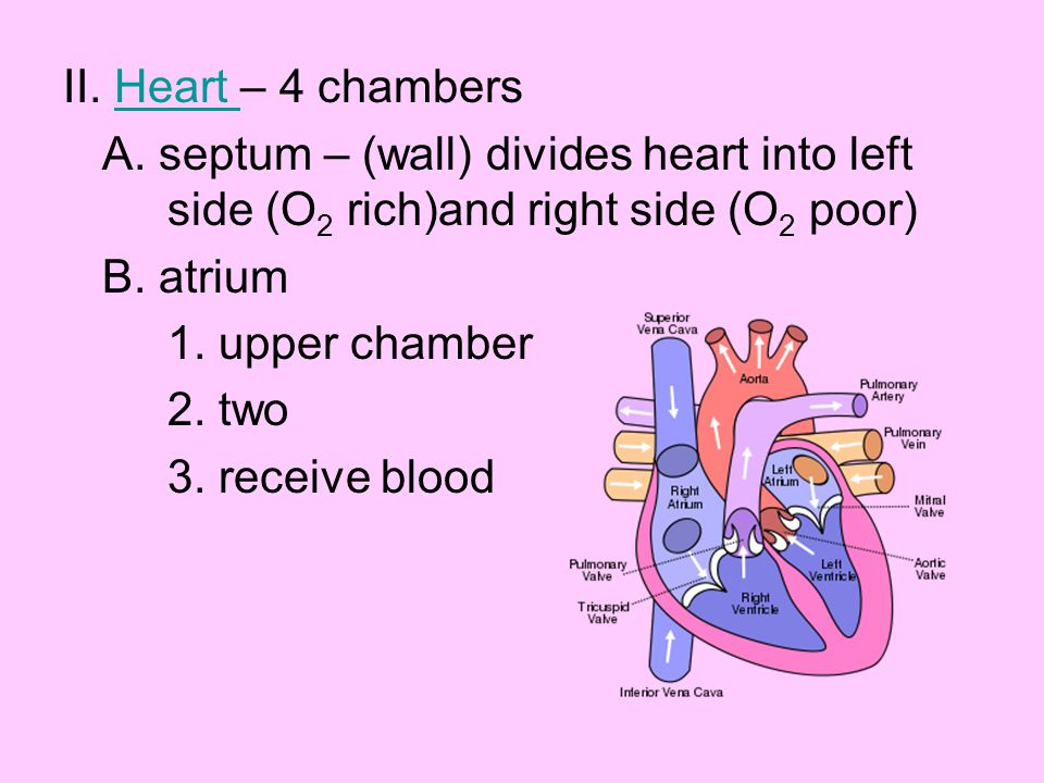 C.ventricle 1. lower chamber 2. two 3. pump blood D.
