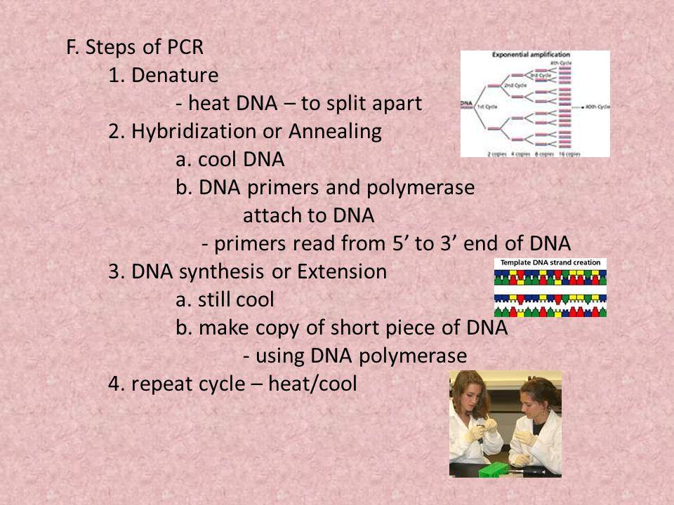 F. Steps of PCR 1. Denature - heat DNA – to split apart 2.