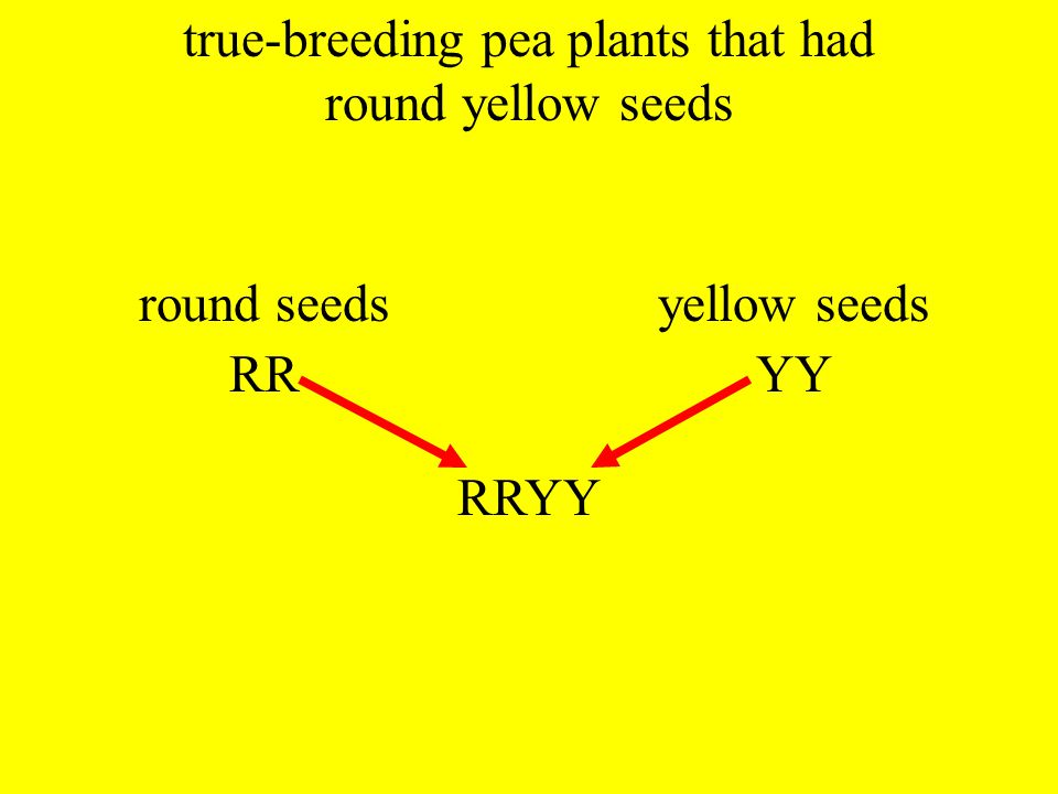 IV. IV. Mendel's Dihybrid Crosses (cross involving two different traits) A. A.experimenting with plants that had two different traits that differed fr