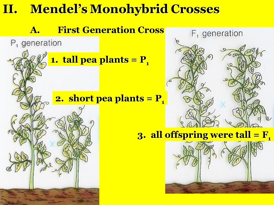 Gregor Mendel and the Laws of Genetics I.Why Mendel succeeded: A.used controlled experiments B.studied only one trait at a time C.did mathematical ana