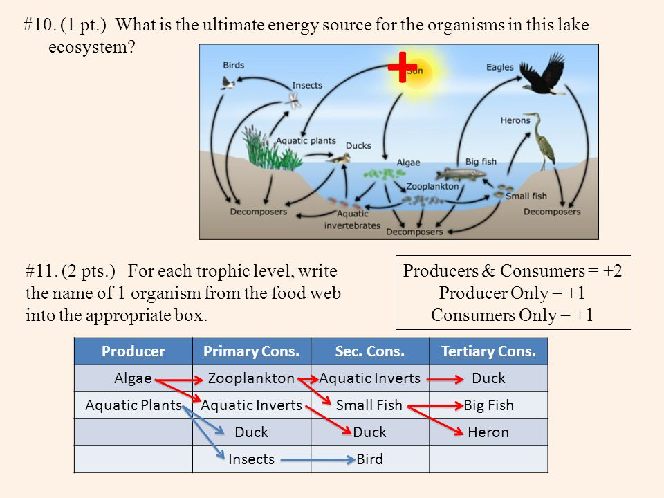 #10. (1 pt.) What is the ultimate energy source for the organisms in this lake ecosystem.