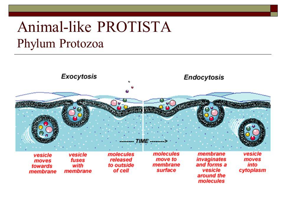 Animal-like PROTISTA Phylum Protozoa