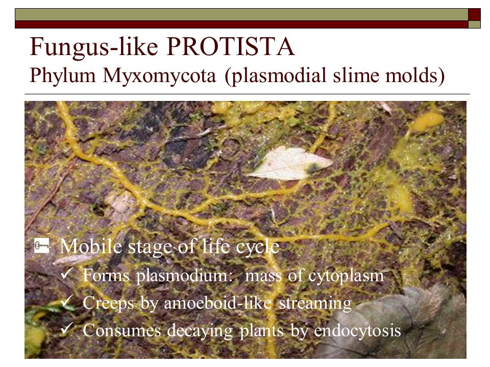 Fungus-like PROTISTA Phylum Myxomycota (plasmodial slime molds) Mobile stage of life cycle Forms plasmodium: mass of cytoplasm Creeps by amoeboid-like streaming Consumes decaying plants by endocytosis