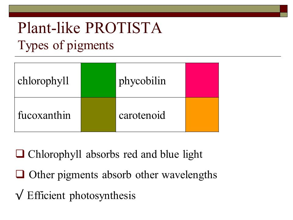 Plant-like PROTISTA Types of pigments chlorophyllphycobilin fucoxanthincarotenoid  Chlorophyll absorbs red and blue light  Other pigments absorb other wavelengths √ Efficient photosynthesis