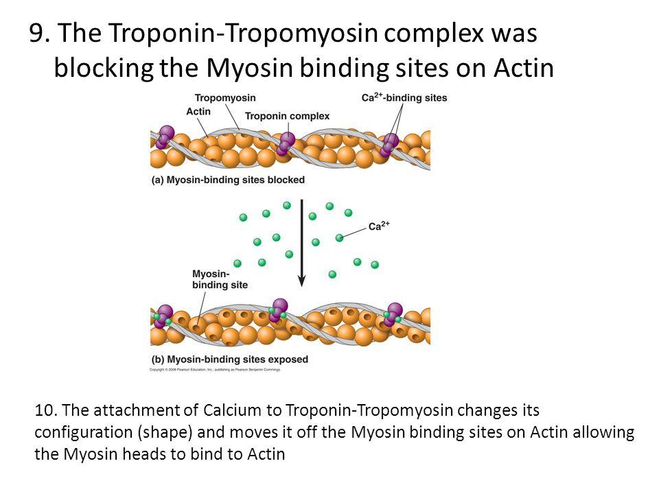 9. The Troponin-Tropomyosin complex was blocking the Myosin binding sites on Actin 10. The attachment of Calcium to Troponin-Tropomyosin changes its c