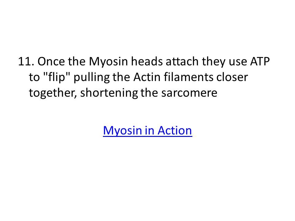 11. Once the Myosin heads attach they use ATP to