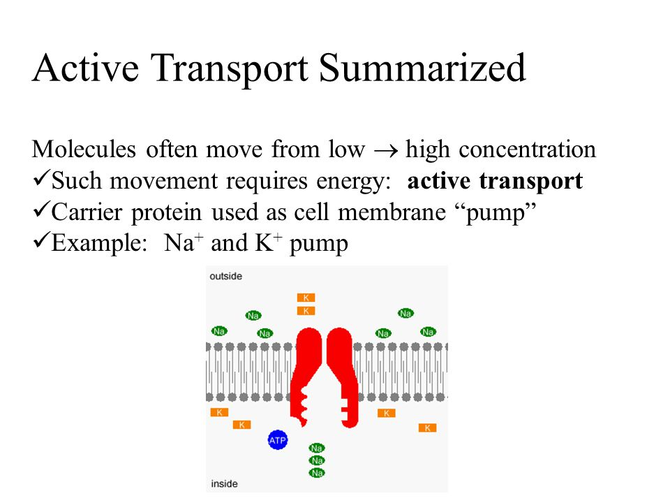 Active Transport Summarized Molecules often move from low  high concentration Such movement requires energy: active transport Carrier protein used as