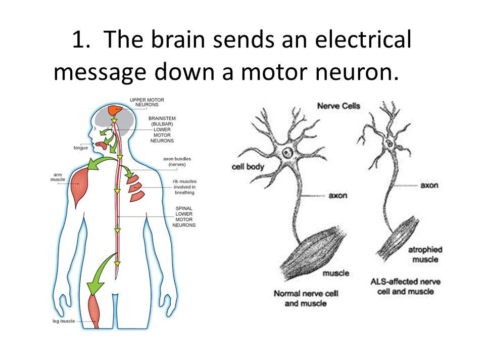 1. The brain sends an electrical message down a motor neuron.