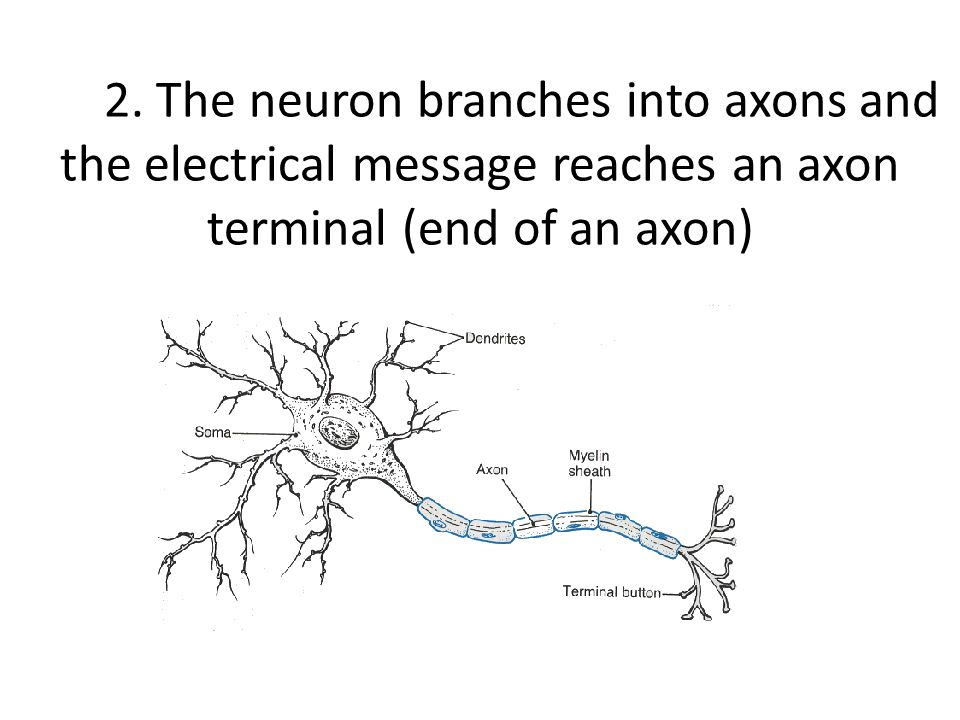 2. The neuron branches into axons and the electrical message reaches an axon terminal (end of an axon)