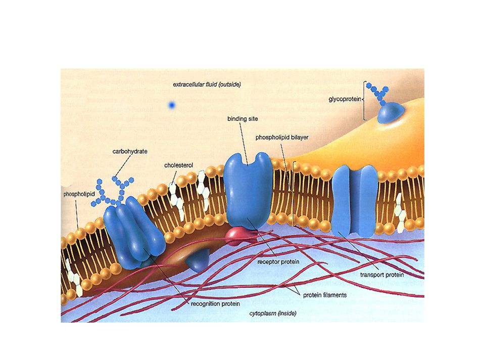 The phospholipid bilayer is the fundamental structure of the membrane The cell membrane contains both hydrophilic and hydrophobic regions
