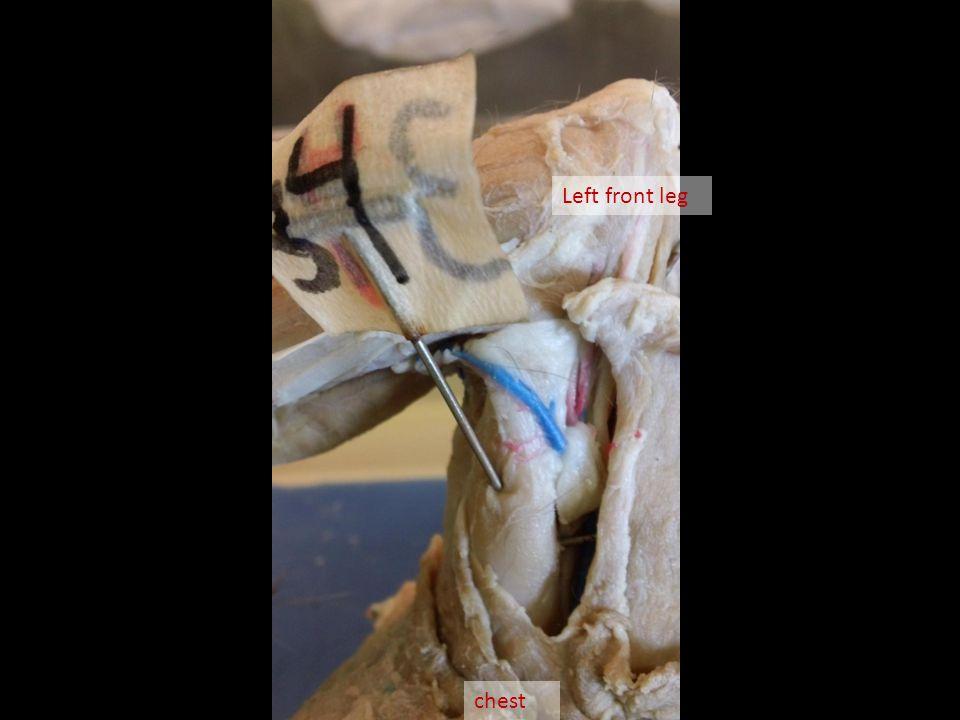 chest Left front leg