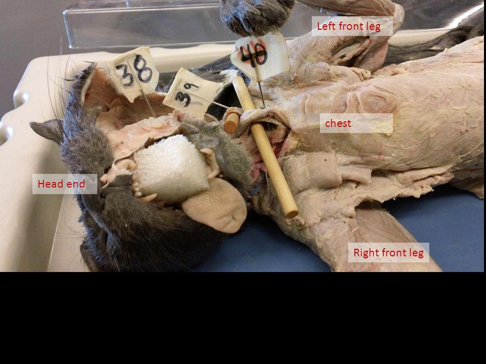 chest Right front leg Head end Left front leg