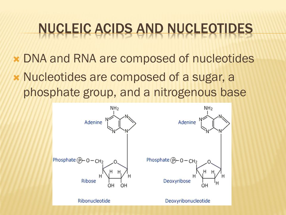  DNA and RNA are composed of nucleotides  Nucleotides are composed of a sugar, a phosphate group, and a nitrogenous base