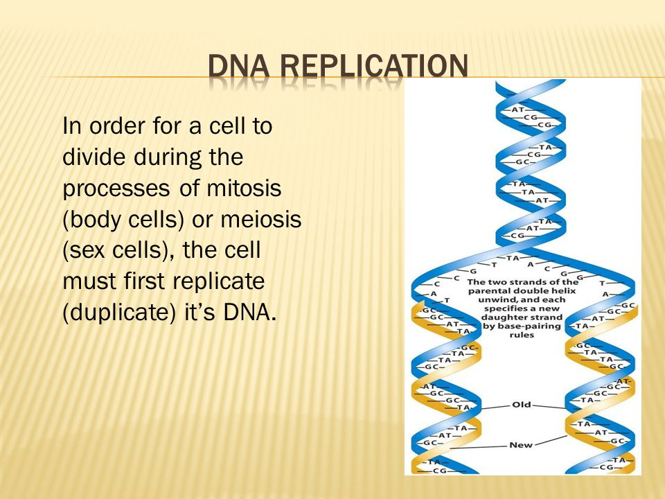 In order for a cell to divide during the processes of mitosis (body cells) or meiosis (sex cells), the cell must first replicate (duplicate) it's DNA.