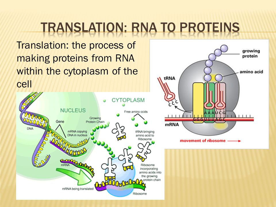 Translation: the process of making proteins from RNA within the cytoplasm of the cell